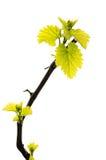Hoja verde fresca de la uva aislada en el fondo blanco fotos de archivo libres de regalías