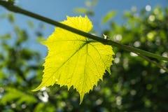 Hoja verde fresca de la vid imagen de archivo