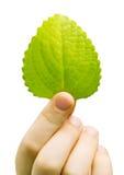 Hoja verde fresca de una planta Fotografía de archivo libre de regalías
