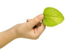 Hoja verde fresca de una planta Fotos de archivo libres de regalías