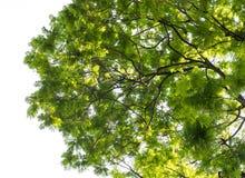 Hoja verde fresca del árbol de la visión inferior Foto de archivo libre de regalías
