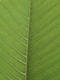 Hoja verde fresca del árbol del Plumeria Imágenes de archivo libres de regalías
