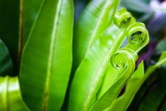 Hoja verde fresca del helecho Imagen de archivo libre de regalías