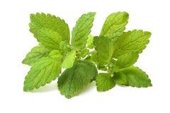 Hoja verde fresca del toronjil. Bálsamo de limón Foto de archivo libre de regalías