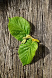 Hoja verde fresca dos de una avellana del árbol Fotografía de archivo