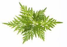 Hoja verde fresca hermosa para el fondo de la bandera Fotos de archivo libres de regalías