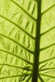 Hoja verde grande Imagenes de archivo