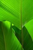 Hoja verde grande. Fotos de archivo