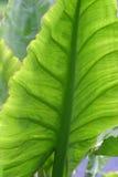 Hoja verde grande Foto de archivo libre de regalías