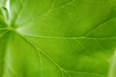Hoja verde grande de un cierre de la planta para arriba Rayas, arterias y la estructura de la planta a la luz foto de archivo