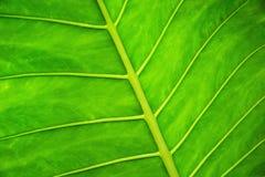 Hoja verde hermosa Fotografía de archivo