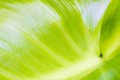 Hoja verde joven 6 Imagen de archivo libre de regalías