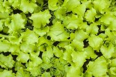 Hoja verde joven de la lechuga imagen de archivo libre de regalías