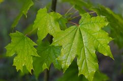 Hoja verde jugosa de un arce joven después de una lluvia imagen de archivo