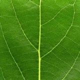 Hoja verde macra Imágenes de archivo libres de regalías