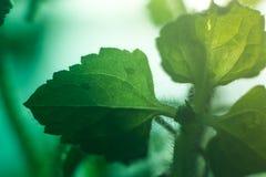 Hoja verde macra con descensos en luz del sol Fotos de archivo libres de regalías