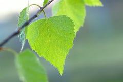 Hoja verde mojada de un abedul Foto de archivo libre de regalías