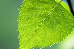 Hoja verde mojada de un cierre del abedul encima de la macro Fotografía de archivo