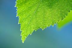 Hoja verde mojada de un cierre del abedul encima de la macro Imagenes de archivo