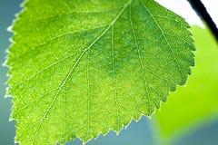 Hoja verde mojada de un cierre del abedul encima de la macro Imagen de archivo libre de regalías