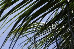 Hoja verde mullida de la palmera de los Cocos Hoja de palma sobre fondo del cielo Imagenes de archivo
