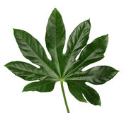 Hoja verde muy grande en un fondo blanco imágenes de archivo libres de regalías