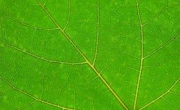 Hoja verde, opinión del primer Fotografía de archivo