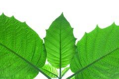 Hoja verde para el fondo Fotos de archivo