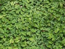 Hoja verde para una textura del fondo Foto de archivo libre de regalías