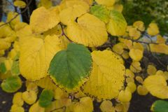 Hoja verde pasada entre amarillo unos en octubre imagen de archivo