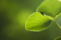 Hoja verde que brilla intensamente Fotografía de archivo