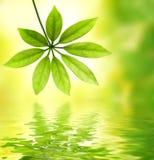 Hoja verde reflejada en agua Fotos de archivo libres de regalías