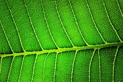 Hoja verde retroiluminada del primer Imágenes de archivo libres de regalías