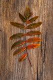 Hoja Verde-roja de Rowan Lying en un tablero de madera Imagen de archivo libre de regalías