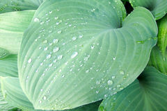 Hoja verde sólida del hosta Foto de archivo libre de regalías