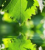 Hoja verde sobre el agua Foto de archivo libre de regalías