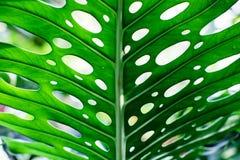 Hoja verde tropical única Fotos de archivo