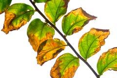 Hoja verde y amarilla del aislante Fotografía de archivo