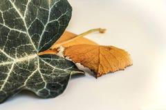 Hoja verde y hojas amarillas secas Fotografía de archivo