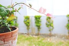 Hoja verde y rosada en Clay Pot Fotos de archivo libres de regalías