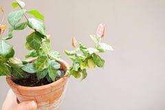 Hoja verde y rosada en Clay Pot Foto de archivo libre de regalías