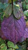 Hoja violeta Foto de archivo libre de regalías