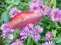 Hoja y abeja rojas de Thornhill en los asteres salvajes 2017 Foto de archivo libre de regalías