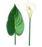 Hoja y flor de la cala Foto de archivo