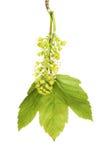 Hoja y flor del sicómoro Fotografía de archivo