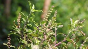 Hoja y flor verdes de la albahaca santa metrajes
