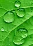 Hoja y gotas de agua de Redbud Imagen de archivo libre de regalías