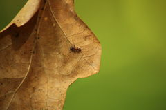 Hoja y hormiga Fotos de archivo libres de regalías