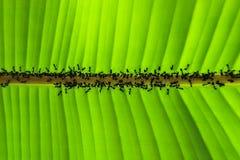 Hoja y hormiga del plátano Fotografía de archivo libre de regalías
