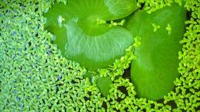 Hoja y lenteja de agua de Lotus Fotografía de archivo